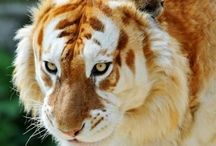 Animals*Big Cats / by Cathy Kent