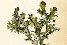 Icelandic herbs