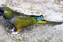 Cyanoliseus / Al genere Cyanoliseus appartiene un'unica specie di pappagallo, il Cyanoliseus Patagonus, comunemente detto Conuro della Patagonia, che abita in Argentina, Cile ed Uruguay, preferibilmente in prossimità di ricche fonti d'acqua.