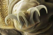 Tardigrades / Amazing critters and too cute!