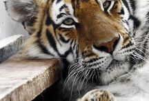 Tiger / Tiger - The most powerful cat in the world. I'm very passionate about the Tiger.