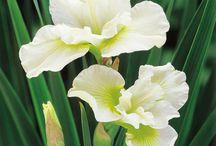 Valkeat kukat