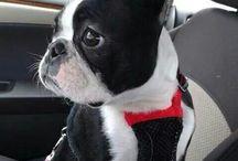 Boston terrier ❤❤❤