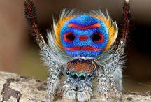 Peacock Spider Costume!