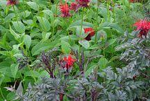 Monarda Combinations / Plant partnerships that include bee balms