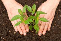 Plantare rasaduri