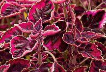 I love coleus / varieties of coleus  / by Richard Carter