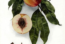 Just PEACHY / All things peach. My new cookbook Peachy: A Harvest of Fruity Goodness will be released Fall 2013 by Familius