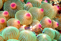 Shrimp anenome