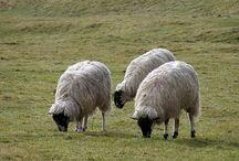 Wypas owiec Józefów / Owce to fantastyczne zwierzęta, ale ich hodowla wymaga wiele cierpliwości. Ich wypasem zajmujemy się od dawna i możemy poszczycić  się niemałą wprawą w w tym zakresie. Znakomicie znamy ich potrzeby i wiemy jak je odżywiać, zajmować się nimi, by zagwarantować im to, co dla nich najlepsze. Nasze owce charakteryzują się gęstym runem i dobrą odpornością. Czuwanie nad nimi to nasza pasja przekazywana hobby przekazywane z pokolenia na pokolenia. Zapraszamy do zapoznania się z naszą ofertą.