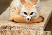 Fennec foxes are the cutest!