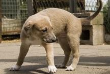 Greyhound Babies