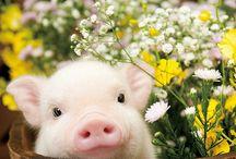 Pig / Mini Porcos