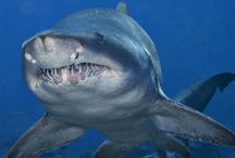 Sharks / Best creatures in the world