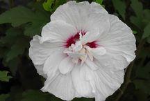 Hibiscus syriacus / Les différentes variétés disponibles