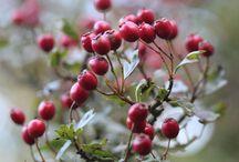 Winter Berrys