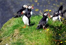 Icelandic Wildlife