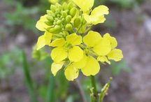 Mustard plants, fields...