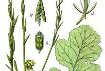 Mustard MArvellous