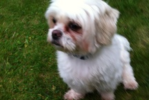 Teddy / This Board I created to share some beautiful photos of our beautiful little Shihtzu boy Whose 6 yrs old his name is Teddy