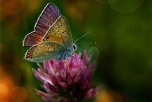 Animals - lepke pillangó butterfly