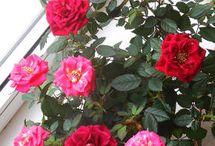 роза миниатюрная уход