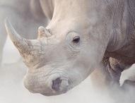 Rhino - On the brink of extinction