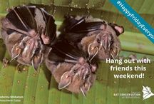 Bats of Latin America / Latin America, including the Caribbean, is home to at least 345 of the world's 1,300+ species of bats. Unfortunately, 15 of these species are currently listed by the International Union for the Conservation of Nature as either Endangered or Critically Endangered, and another 25 are considered Vulnerable.
