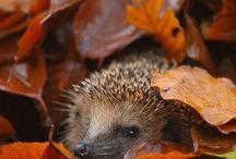 Herbst der Igel kommt