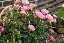 Blumen im Sommer / Alles was uns so vors Objektiv kommt in der Sommerzeit. Freut Euch auf schöbe Arrangements von Blumen Fragen aus Korschenbroich. Wir freuen uns auch Eure Feier, wie Hochzeit, Geburtstag, Taufe u.s.w. mit Blumen zu schmücken!  Fragen? http://blumen-fragen.de/anfahrt-kontakt.html