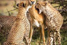 kenya big cats safaris