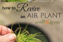 Air Plants / All you need to know about growing and caring for air plants, including tons of creative display and decorating ideas from around the web!