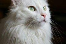 Cats - Turkish Angoras