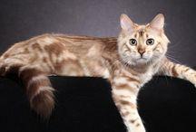 Longhair Bengal Cats
