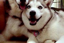 Didii / Husky