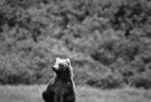 Bears / I like bears because they eat people