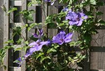 Gardening - Clematis