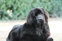 Newfoundlandský pes