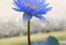 Lotus - Water flower / Lotus Water flower Images logos inspiration tattoo nature spiritual