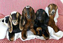 Anglonubijské kozy