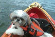 Shih Tzu on a kayak!