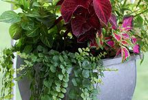 Coleus and friends / by Cynthia Connelly