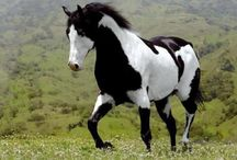 My Patronus | Piebald Stallion | bc I'm a fucking nerd / basically just some pictures of piebald horses that resemble my patrons