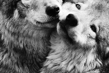 I respect wolves!! / For my love Shiloh. A gentle and pure spirit. Her love and compassion for wolves and all living beings inspires me.
