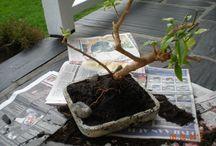 Janin bonsai / Bonsai