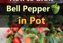 grow bell pepper in pots