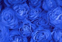 Beautiful Blue Rose / Blue is my favorite color. I love the blue rose!