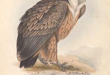 John Gould - Birds of Europe (Vol. I-V)