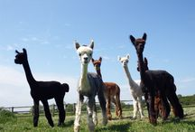 And so the story began / Developing the herd that will produce the seriously luxurious 100% Royal Baby and Baby Alpaca yarns and Knitwear