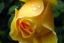 Yellow Roses.
